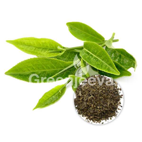 Green Tea Leaf Extract Powder 15% Polyphenols